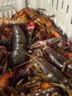 Mess of 1 1/4 lb. lobsters at the Cohasset Pound