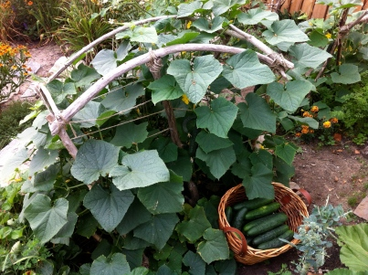Driftwood trellis for the cukes
