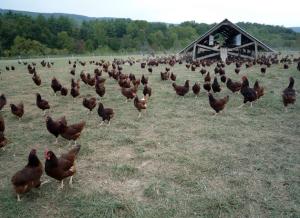 Pasture chickens