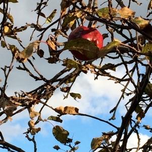 Last apple on the tree